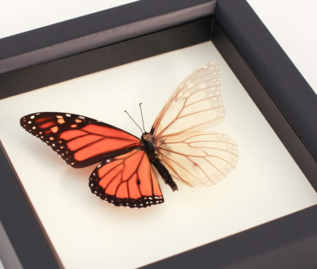 monarch butterfly descaled