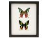 framed african moths