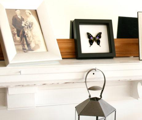 graphium weiskei framed