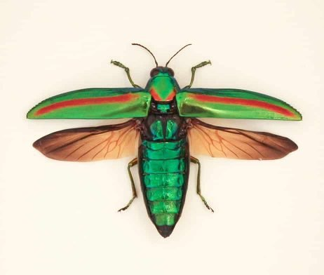 framed jewel beetle