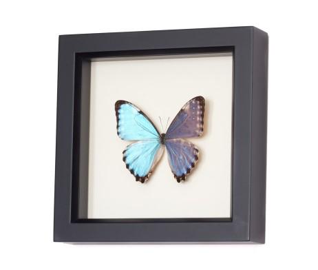 blue amazon butterfly