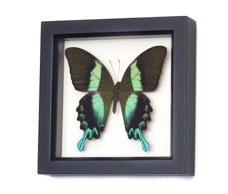 papilio blumei framed butterfly