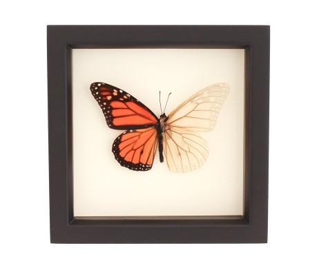 real altered monarch butterfly