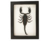 framed scorpion taxidermy