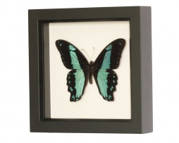 real butterfly taxidermy swallowtail