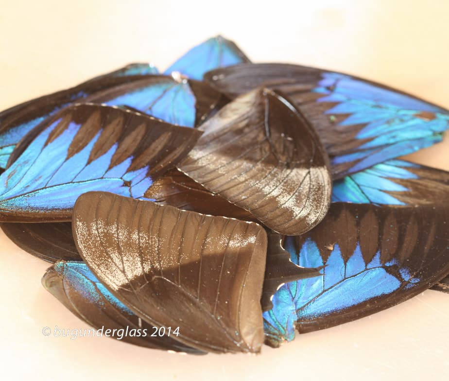 real butterfly wings Archives - BUG UNDER GLASS