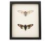 framed cicada set