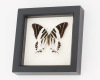 giant swordtail butterfly framed