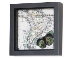 framed-south-america-map-darwin-butterfly