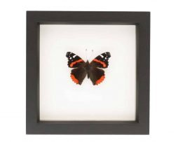 mounted butterfly art