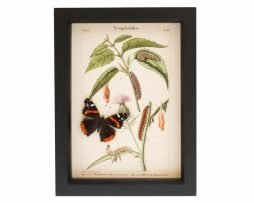 butterflies in glass for sale red admiral