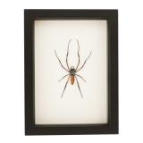real framed spider display