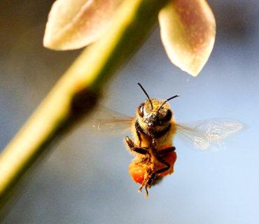 bee flying