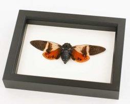 framed cicada