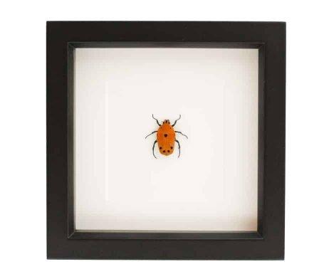 framed flower beetle