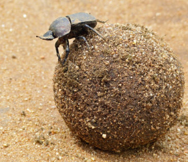 dung beetle rolling dung
