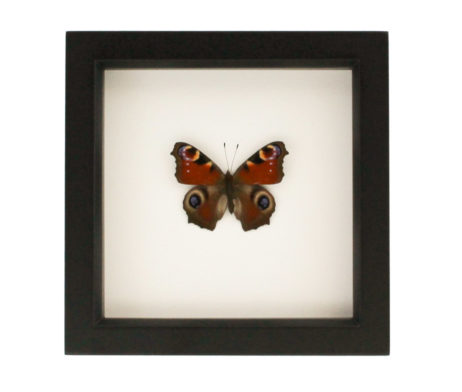 framed-insect-decor-european-peaock-butterfly