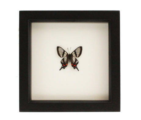 glasswing-swallowtail-chorinea-faunus