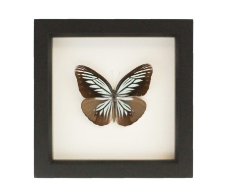 framed wanderer butterfly