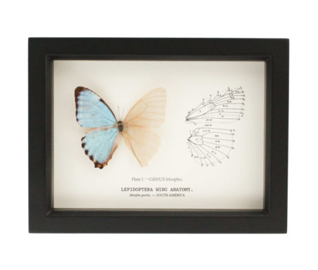 cabinet of curiosities butterfly